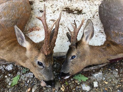 Roe Buck Hunting Story